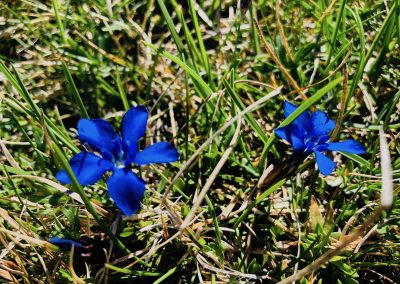 fleurs du vercors